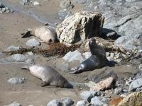 Elephant Seal Vista Point Viewing at Piedras Blancas, CA