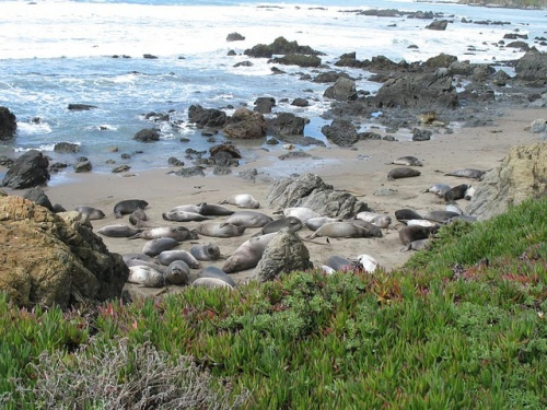 Elephant Seal Vista Point Viewing at Piedras Blancas, CA