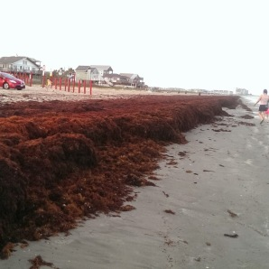 Seaweed on the Galveston beach