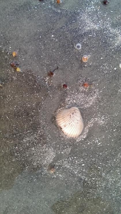 Shells on Galveston, TX beach