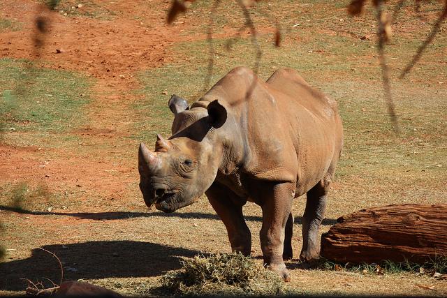 Rhino at OKC Zoo