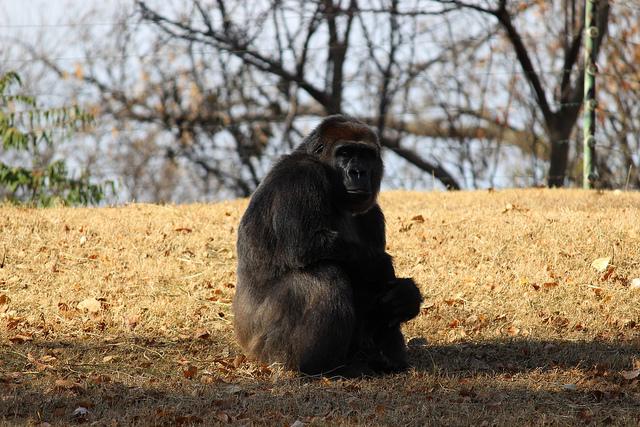 Gorilla at OKC Zoo