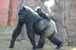 Gorillas at OKC Zoo