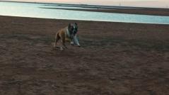 Boxer dog running at Lake Hefner