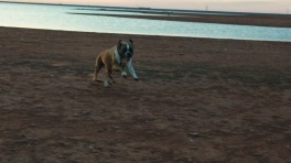 Boxer dog running at Lake Hefner