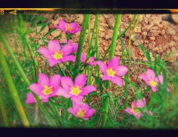 Meadow Pink (Sabatia campestris)