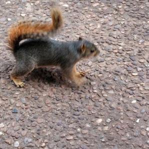 Squirrel at Hafer Park in Edmond