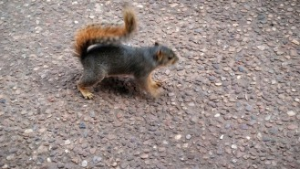 Squirrel at Hafer Park in Edmond