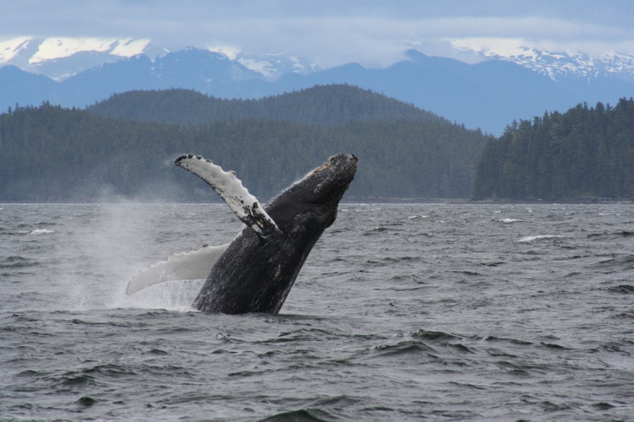 Whale Watching in Alaska