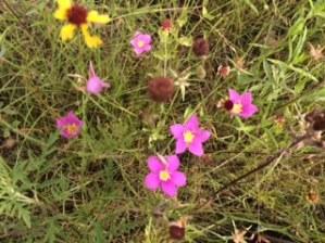 Flowers in Wichita Mountains