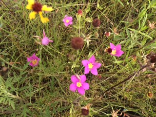 Flowers in Wichita Mountains