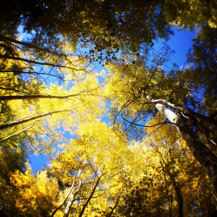 Aspen Grove in San Gorgonio Wilderness