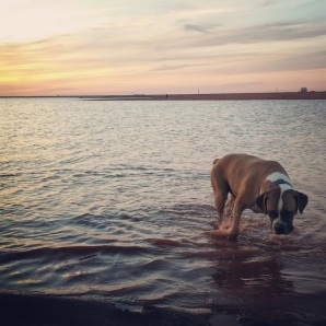 Boxer playing at Lake Hefner in OKC