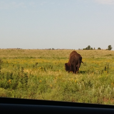 Buffalo at Wichita Mountains Wildlife Refuge