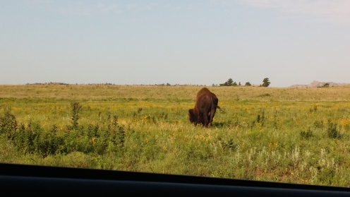 Buffalo at Wichita Mountains Wildlife Refuge