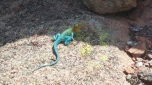 Mountain Boomer Lizard