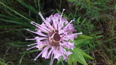 Flower in Wichita Mountains