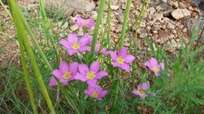 Purple Flowers in Wichita Mountains