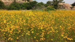 Wildflowers in Wichita Mountains
