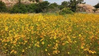 Wildflowers in Wichita Mountains