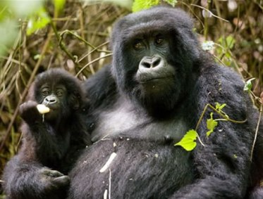 Gorilla East Africa