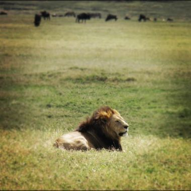 Lion in Ngorongoro
