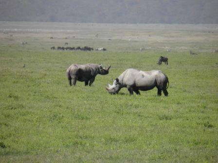 Serengeti rhinos