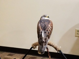 Hawk at Wichita Wildlife Refuge Welcome Center