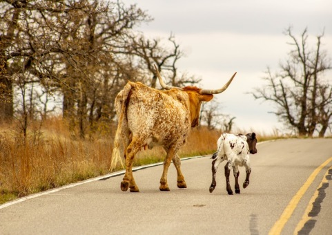 Mama and baby longhorns