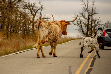 Mama and baby longhorns